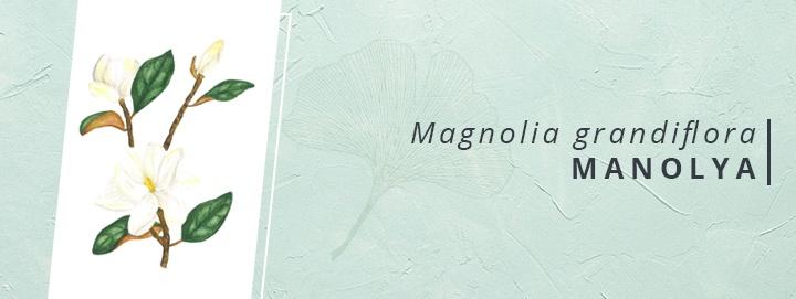 Magnolia grandiflora | HER MEVSİM GÖSTERİŞLİ MANOLYA