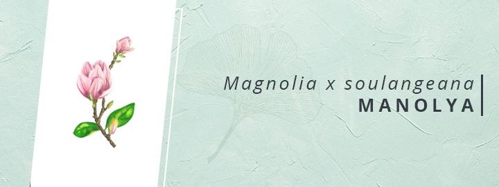 Magnolia x soulangeana | FRANSA'DA YARATILMIŞ BİR MELEZ