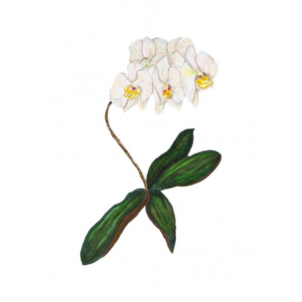 Orkide Çoklu Dal