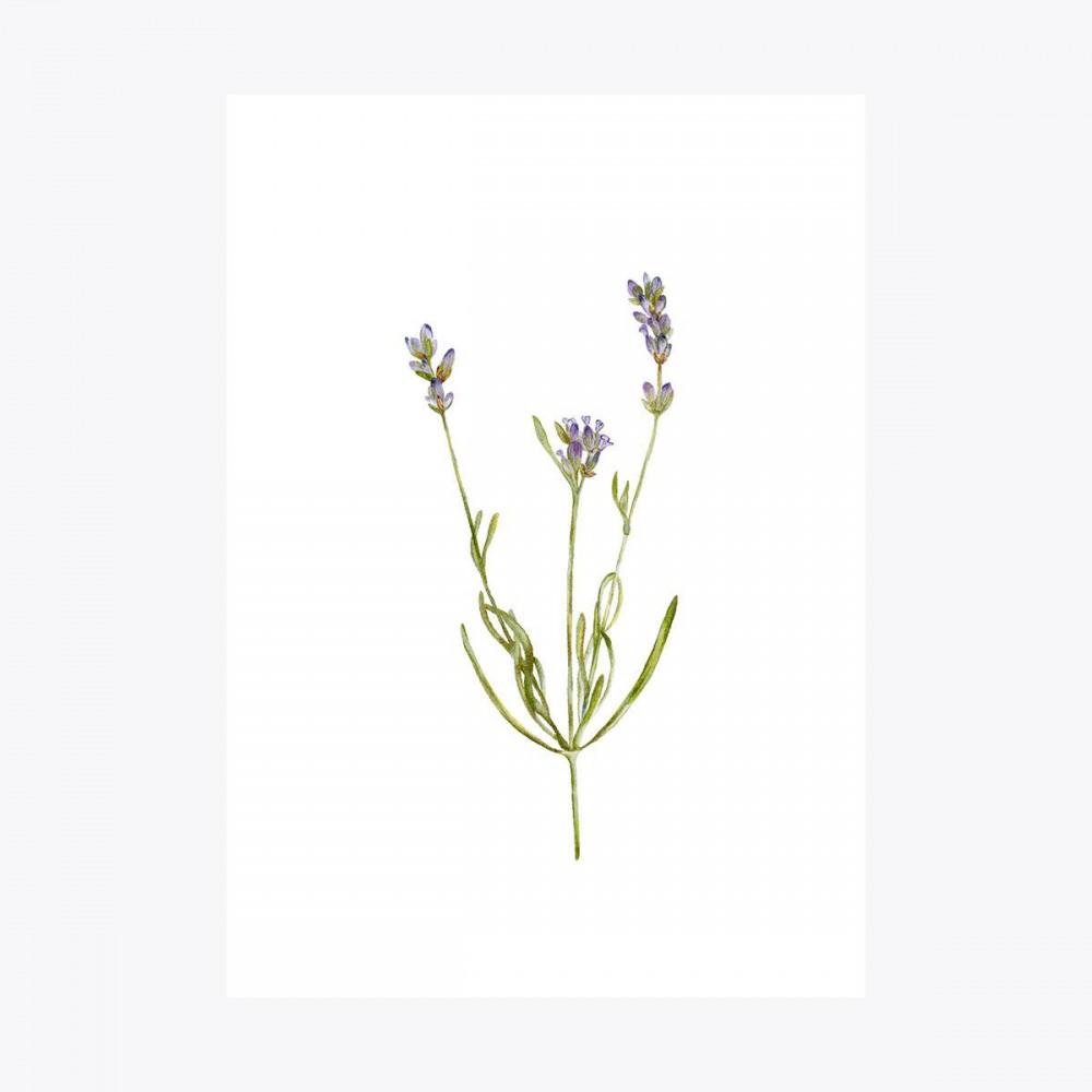Lavanta Dal | Fine Art Print